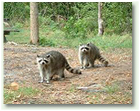 raccoon control and animal trapping from Nuiance Wildlife Relocation