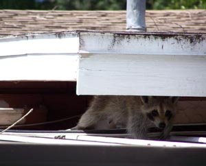 Raccoon looking for new digs