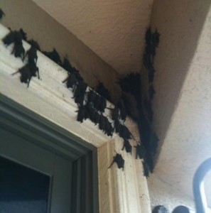 bats gathered on a porch in Lakewood Ranch, Florida.