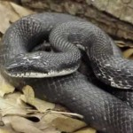 rat-snake