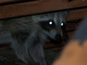 attic-coon