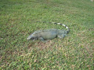 dead-iguana